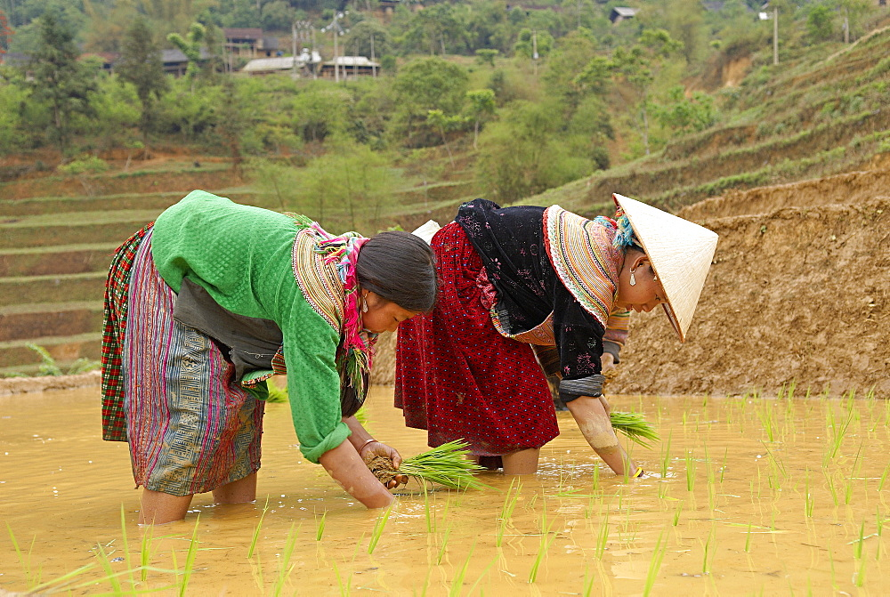 Flower Hmong ethnic group women working in the rice field, Bac Ha area, Vietnam, Indochina, Southeast Asia, Asia  - 712-2507