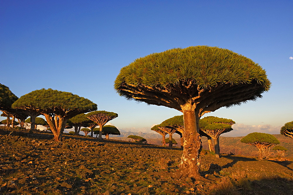 Dragon tree (Dracaena Cinnabari), Socotra Island, Yemen, Middle East