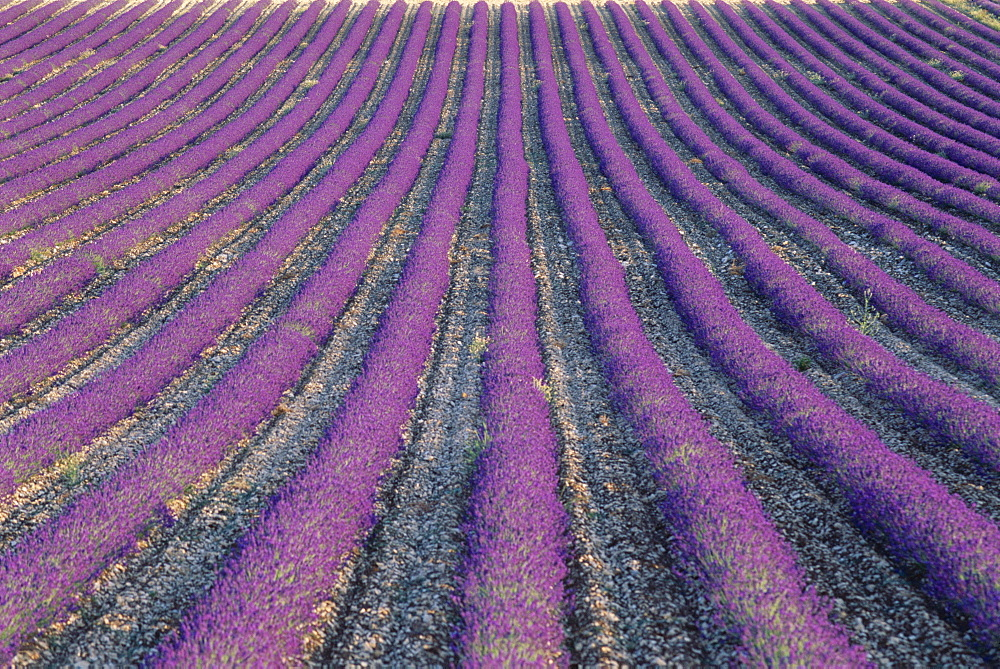 Fields of lavender, Sauli, Vaucluse, Provence, France, Europe
