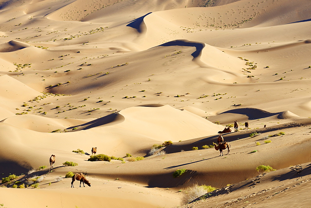 China, Inner Mongolia, Badain Jaran desert, Gobi desert, bactriane camels - 712-2951