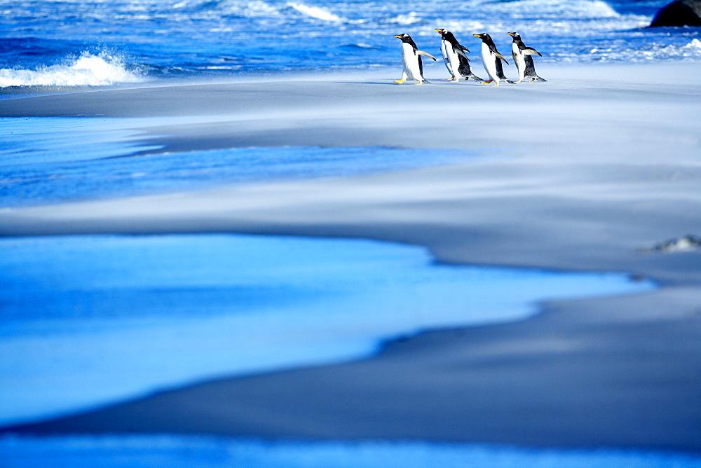 Gentoo penguins (Pygocelis papua papua) walking on a beach, Sea Lion Island, Falkland Islands, South Atlantic, South America