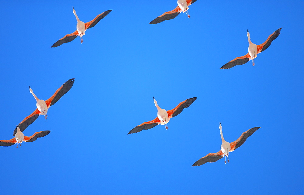 Chilean flamingoes (Phoenicopterus chilensis) in flight, Torres del Paine National Park, Patagonia, Chile, South America