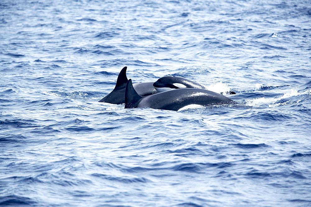Family of killer whales (Orcinus orca) at surface off Tarifa coast, Strait of Gibraltar, Costa de la Luz, Andalucia (Andalusia), Spain, Europe