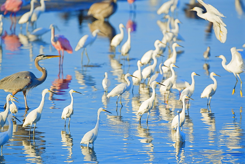 Great egrets (Casmerodius albus), great blue heron (Ardea herodias) and roseate spoonbills (Ajaia ajaja), looking for fish in pond, Sanibel Island, J. N. Ding Darling National Wildlife Refuge, Florida, United States of America, North America