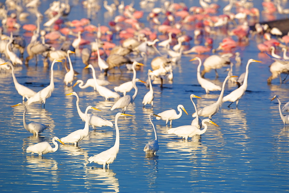 Great egrets (Casmerodius albus) and roseate spoonbills (Ajaia ajaja) looking for fish in pond, Sanibel Island, J. N. Ding Darling National Wildlife Refuge, Florida, United States of America, North America