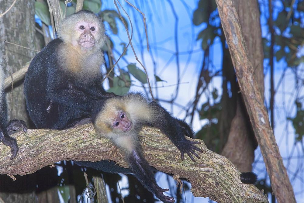 White-faced Capuchin monkey (Cebus capucinos) on tree, Manuel Antonio National Park, Costa Rica, Central America
