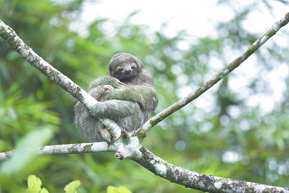 Three-toed sloth (Bradypus variegatus) sitting on a tree, Arenal, La Fortuna, Costa Rica, Central America - 718-1673