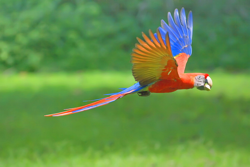 Scarlet macaw (Ara macao) in flight with nut in its beak, Corcovado National Park, Osa Peninsula, Costa Rica, Central America - 718-1731