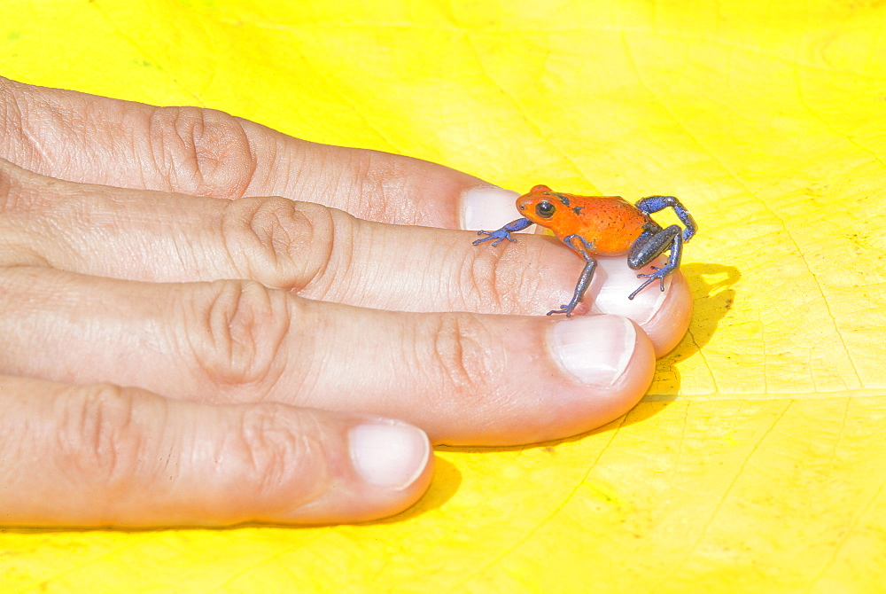 Blue jeans dart frog (Dendrobates pumilio) on human hand, Costa Rica, Central America - 718-1732