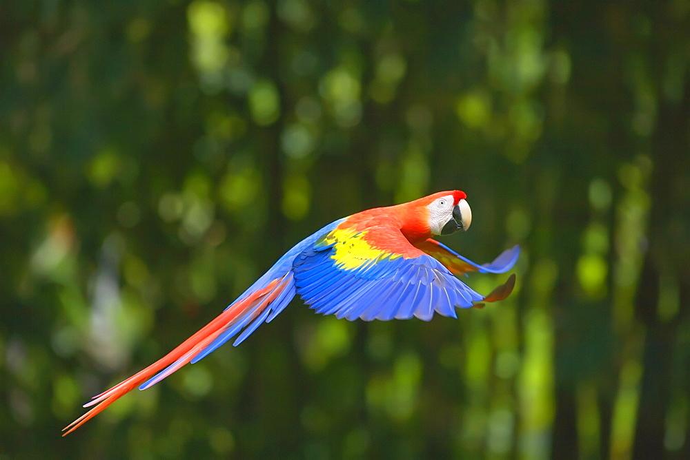 Scarlet macaw (Ara macao) in flight, Corcovado National Park, Osa Peninsula, Costa Rica, Central America - 718-1741
