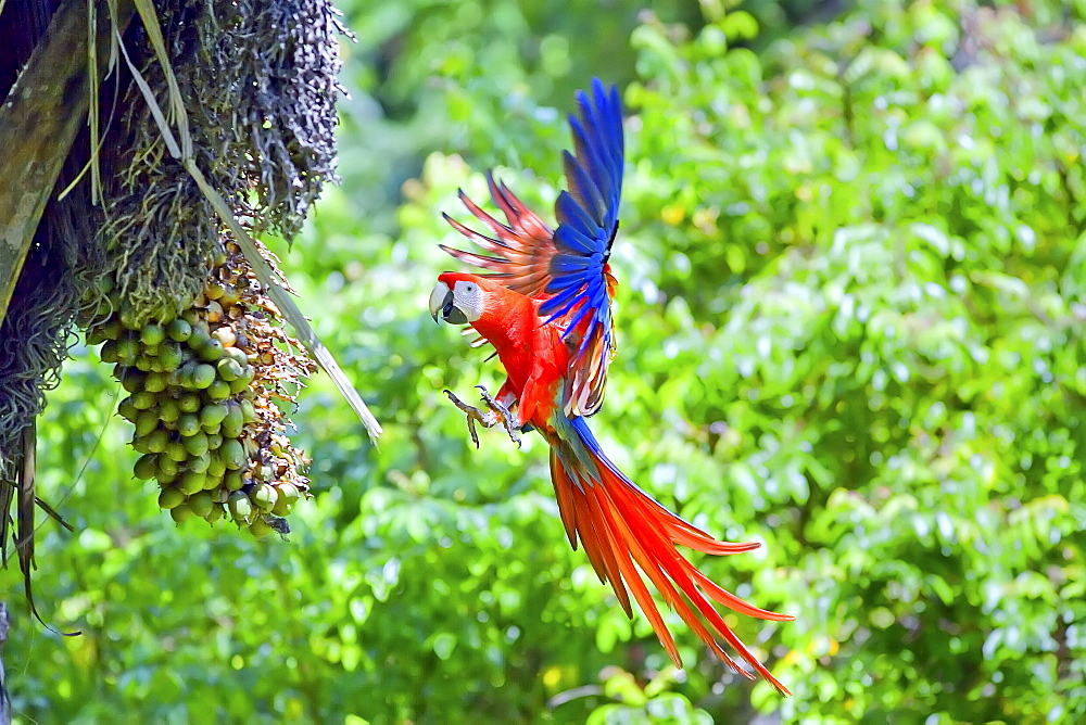 Scarlet Macaws (Ara macao) in flight, Corcovado National Park, Osa Peninsula, Costa Rica, Central America - 718-1748