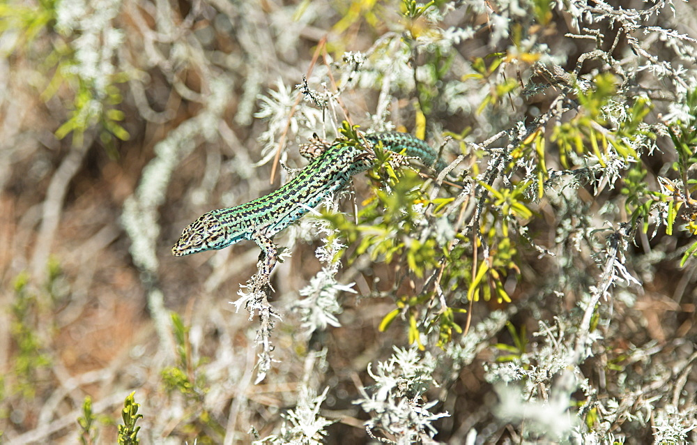 Green lizard (Podarcis pityusensis), Formentera, Balearic Islands, Spain, Europe