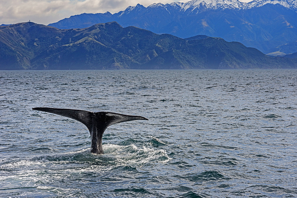 Fluke of Sperm whale diving, Kaikoura, South Island, New Zealand, Pacific