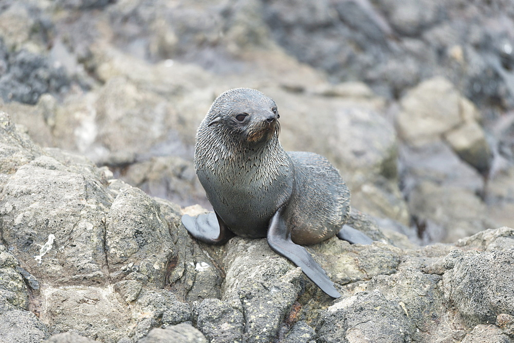 New Zealand Fur Seal Pup at Otago Peninsula, Dunedin, Otago, South Island, New Zealand, Pacific