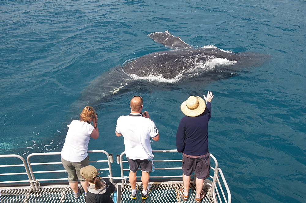 Humpback whale (Megaptera novaeangliae) watching, Hervey Bay, Queensland, Australia, Pacific