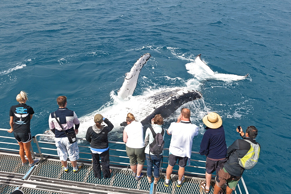 Whale watchers viewing a Humpback whale (Megaptera novaeangliae) breaching, Hervey Bay, Queensland, Australia, Pacific