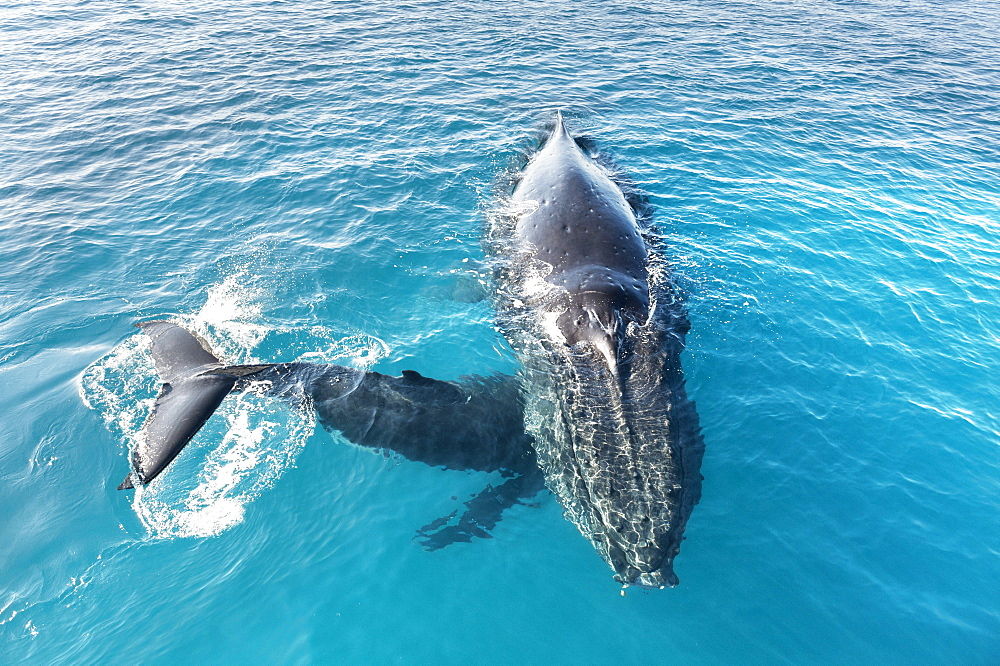 Humpback whales (Megaptera novaeangliae) mother and calf, Hervey Bay, Queensland, Australia, Pacific