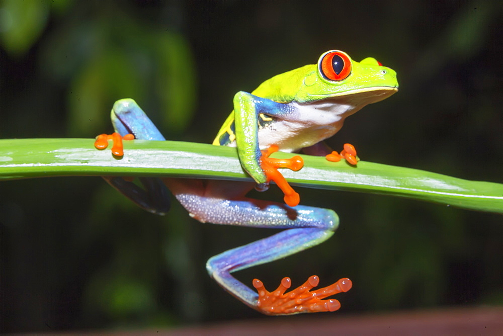 Red eyed tree frog (Agalychins callydrias) on green stem, Sarapiqui, Costa Rica