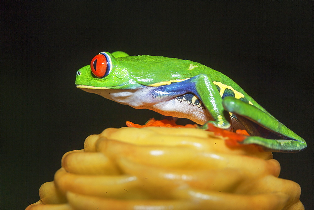 Red eyed tree frog (Agalychins callydrias) on yellow flower, Sarapiqui, Costa Rica