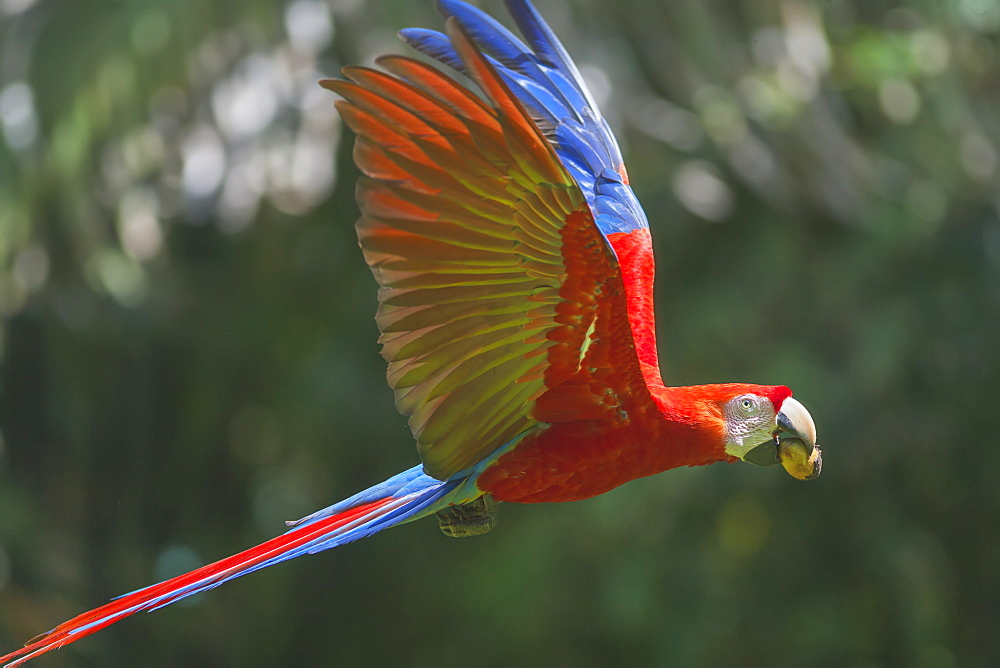 Scarlet Macaw (Ara macao) in flight, Corcovado National Park, Osa Peninsula, Costa Rica
