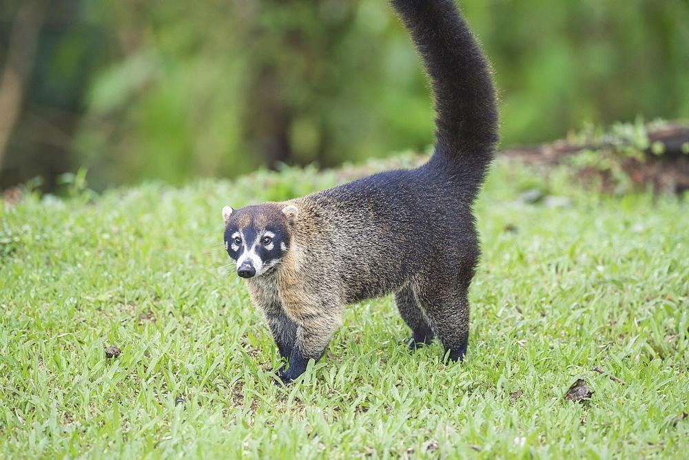 Coati (Nasua narica), Costa Rica, Central America
