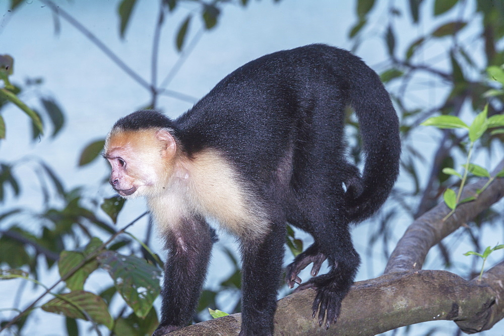 White-faced capuchin monkey (Cebus capucinus) in rainforest, Manuel Antonio National Park, Puntarenas Province, Costa Rica.