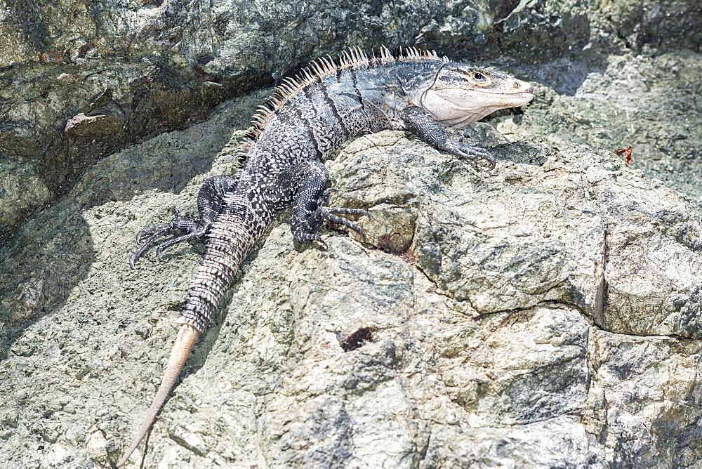 Black spiny tailed Iguana (Ctenosaur similis) crawling, Manuel Antonio National Park, Puntarenas Province, Costa Rica, Central America