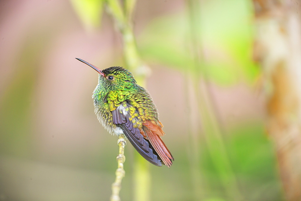 Rufous-tailed hummingbird (Amazilia tzacatl) on branch, Sarapiqui, Costa Rica, Central America