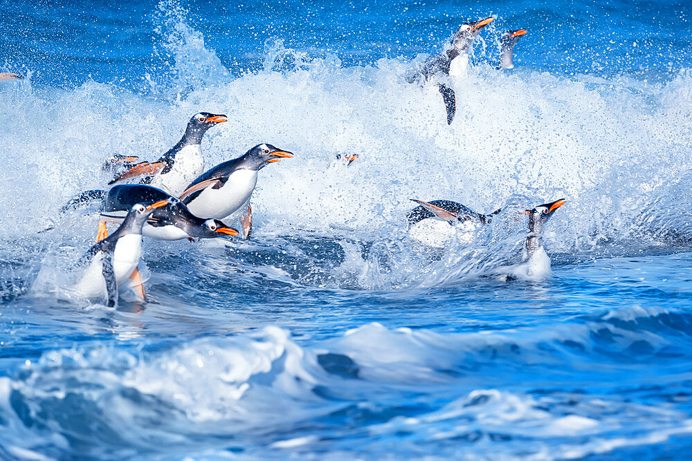 Gentoo penguins (Pygocelis papua papua) jumping out of the water, Sea Lion Island, Falkland Islands, South America - 718-2623