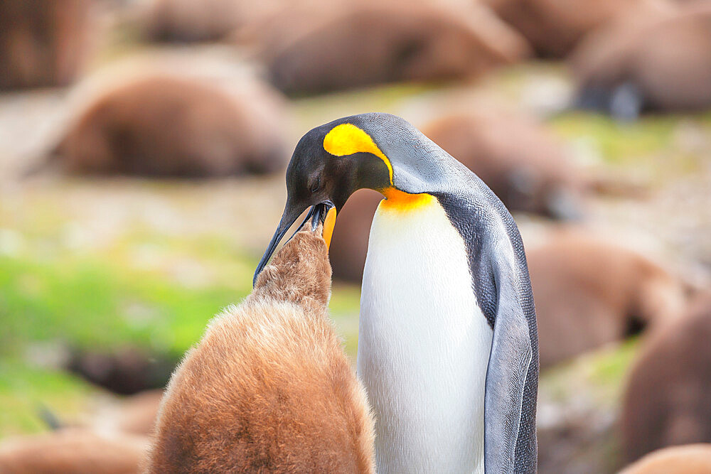 An adult King penguin (Aptenodytes patagonicus) feeding its chick, East Falkland, Falkland Islands, South America - 718-2630