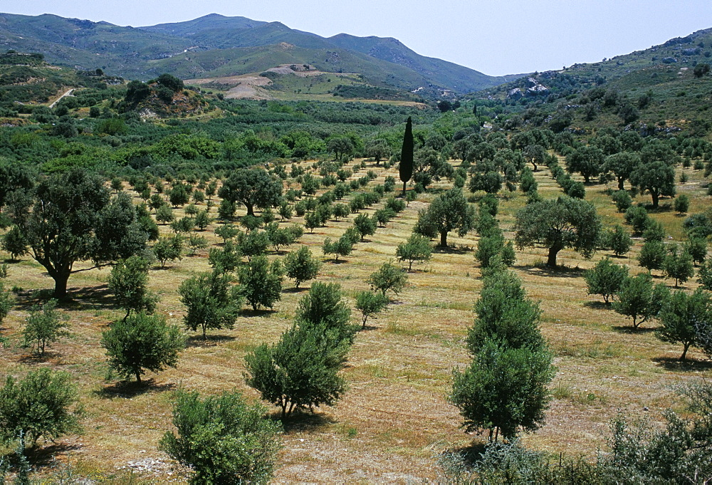 Olive trees, near Spili, island of Crete, Greece, Mediterranean, Europe
