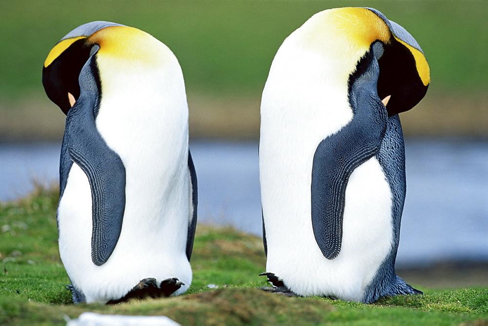 King penguins (Aptenodytes patagonicus) sleeping, Volunteer Point, East Falkland, Falkland Islands, South Atlantic, South America