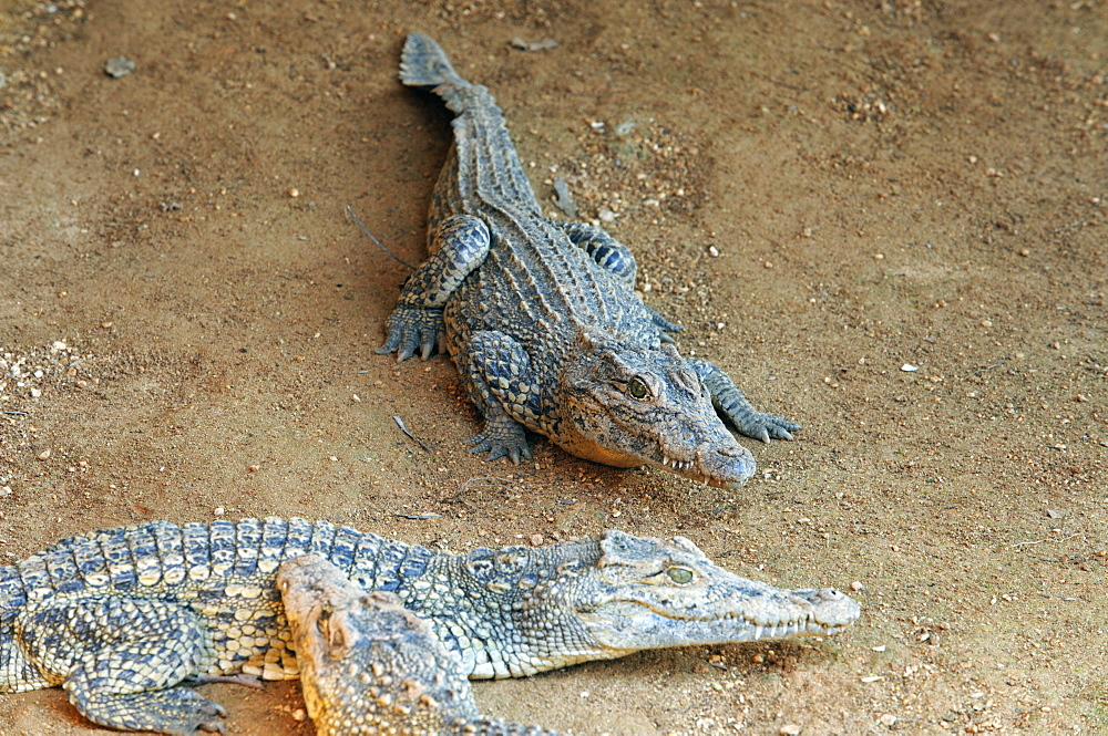 Young crocodiles in the Crocodile Breeding Centre, Laguna del Tesoro (Treasure Lagoon), Matanzas, Cuba, West Indies, Central America - 722-149