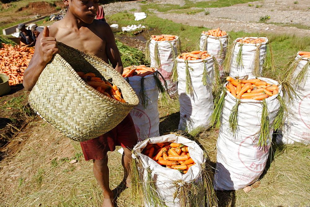 Carrot harvest, Vakinankaratra region, Madagascar, Africa  - 724-2440