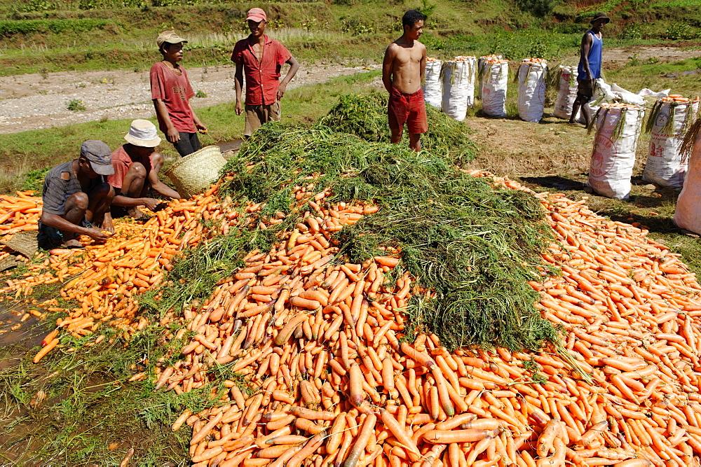 Carrot harvest, Vakinankaratra region, Madagascar, Africa  - 724-2441