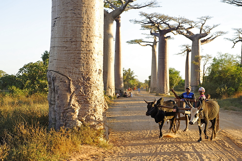 The Alley of the Baobabs (Avenue de Baobabs), a prominent group of baobab trees lining the dirt road between Morondava and Belon'i Tsiribihina, Madagascar, Africa