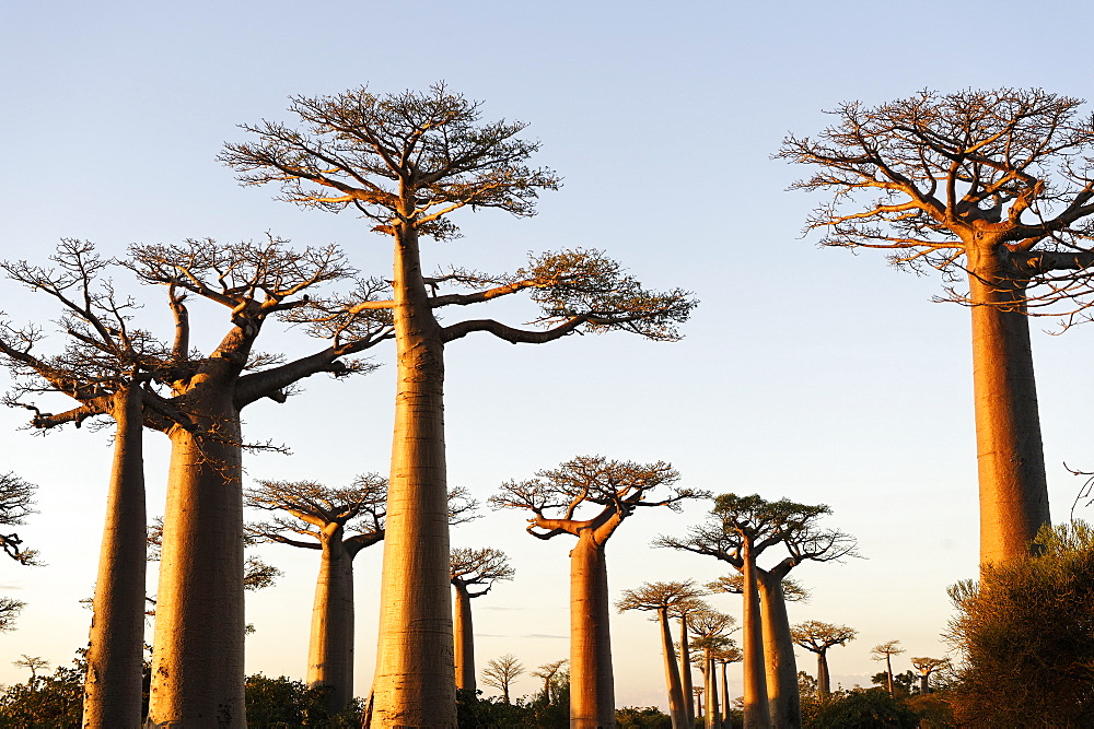 The Alley of the Baobabs (Avenue de Baobabs), a prominent group of baobab trees lining the dirt road between Morondava and Belon'i Tsiribihina, Madagascar, Africa  - 724-2453