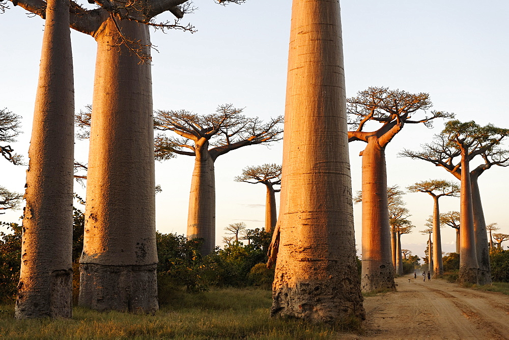 The Alley of the Baobabs (Avenue de Baobabs), a prominent group of baobab trees lining the dirt road between Morondava and Belon'i Tsiribihina, Madagascar, Africa  - 724-2454