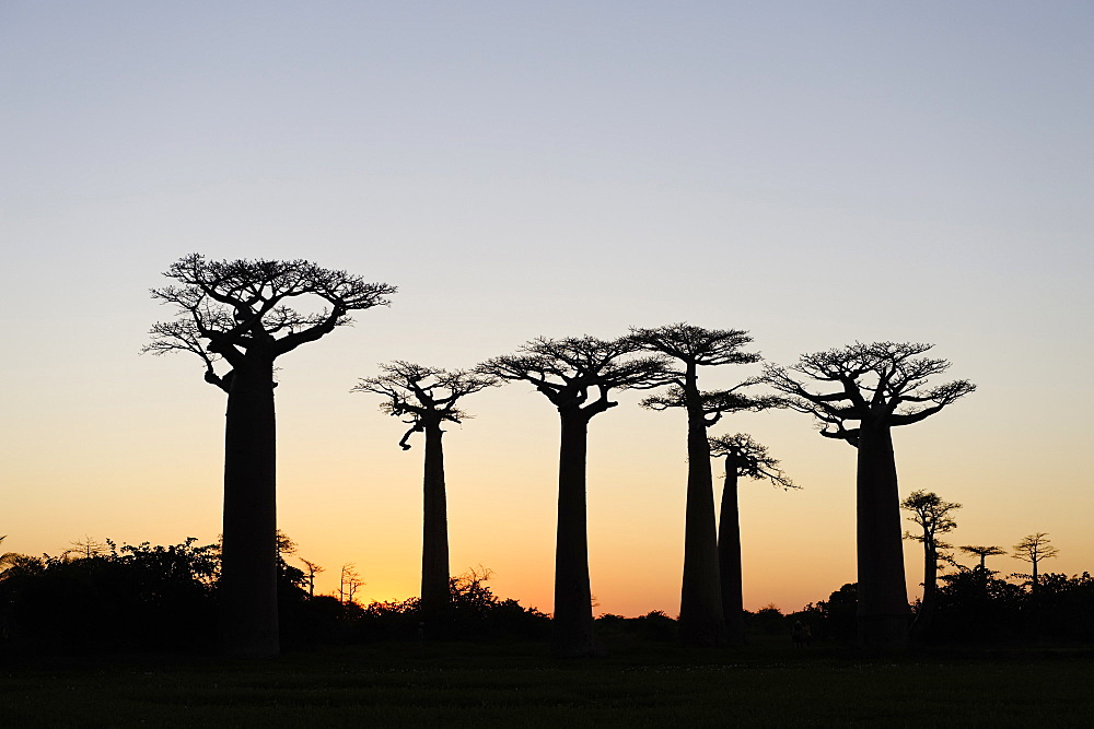 The Alley of the Baobabs (Avenue de Baobabs), a prominent group of baobab trees lining the dirt road between Morondava and Belon'i Tsiribihina, Madagascar, Africa  - 724-2455