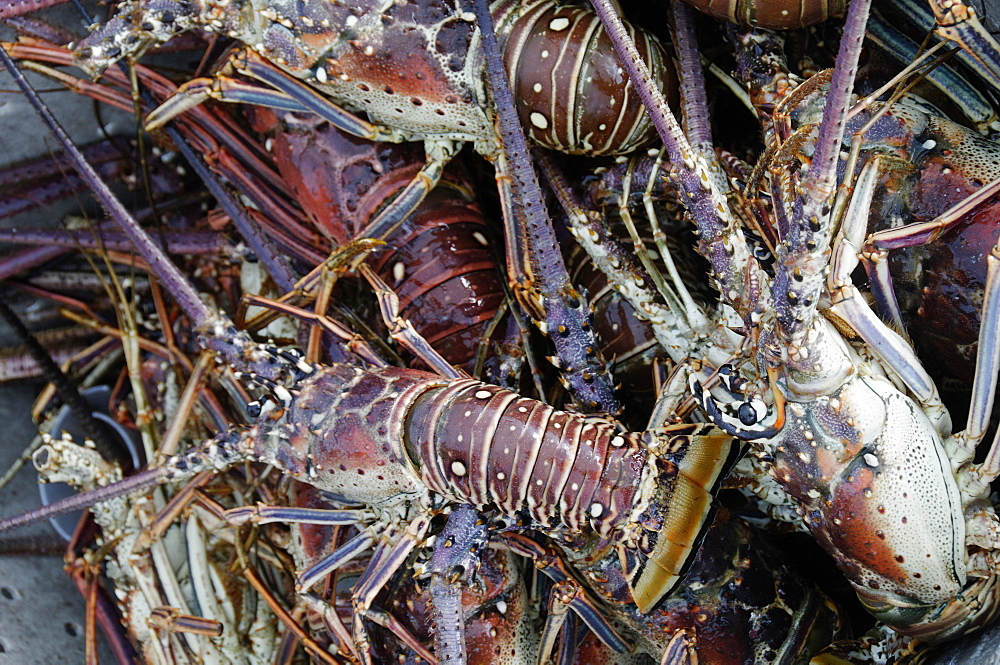 Lobsters, Anegada Island, British Virgin Islands, West Indies, Caribbean, Central America - 724-2492