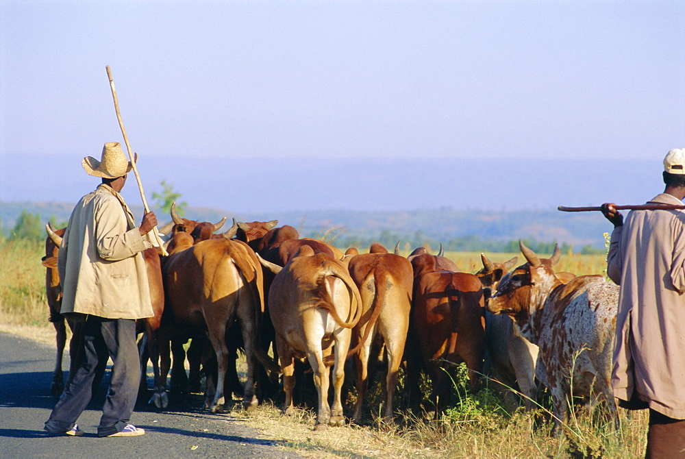 Small herd of cows and their herders, Woolisso reigion, Shoa Province, Ethiopia, Africa *** Local Caption ***