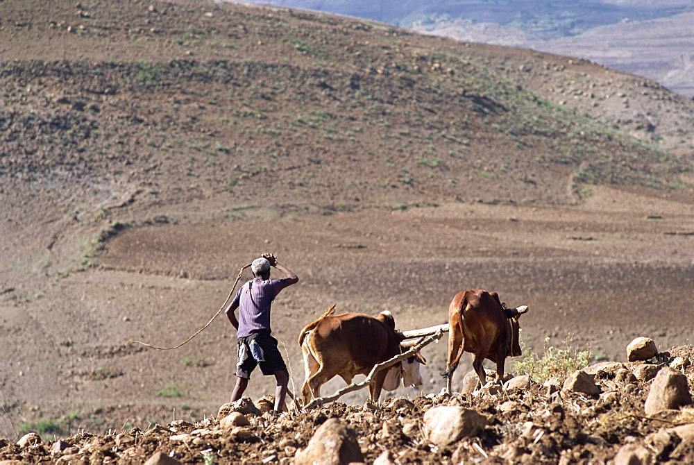Man ploughing with animals on rough ground, Lasta Valley, Wollo region, Ethiopia, Africa