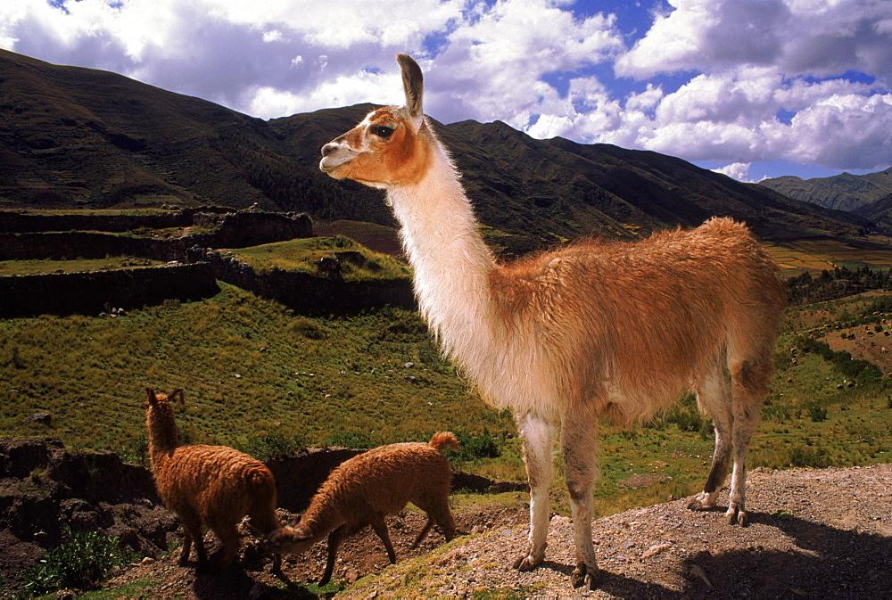 Llamas near Cusco, Peru, South America