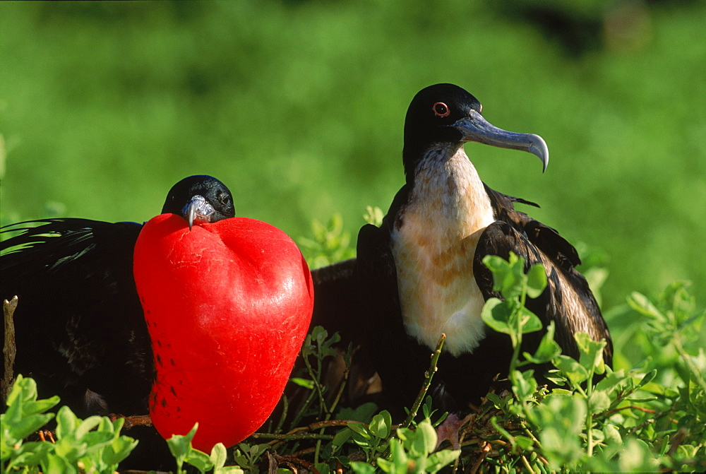 Great frigate birds (Fregata minor) in courtship, Tower Island, Galapagos