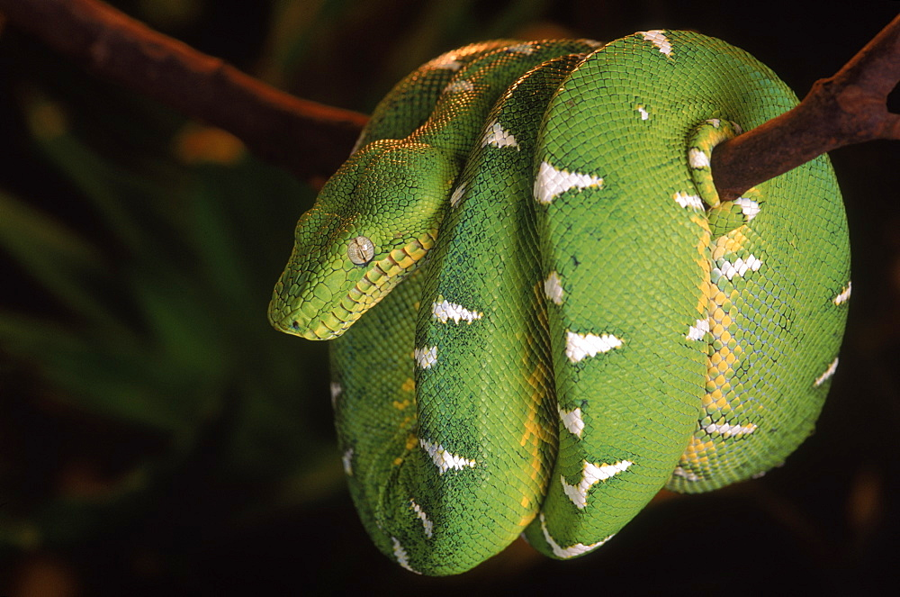 Emerald tree boa (Corallus canina), Ecuador, Amazon, South America