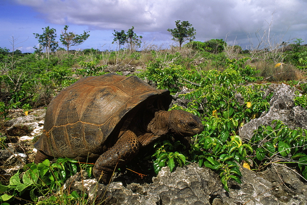 Aldabra tortoise (Geochelone gigantea), Picard Island, Aldabra Atoll, Seychelles