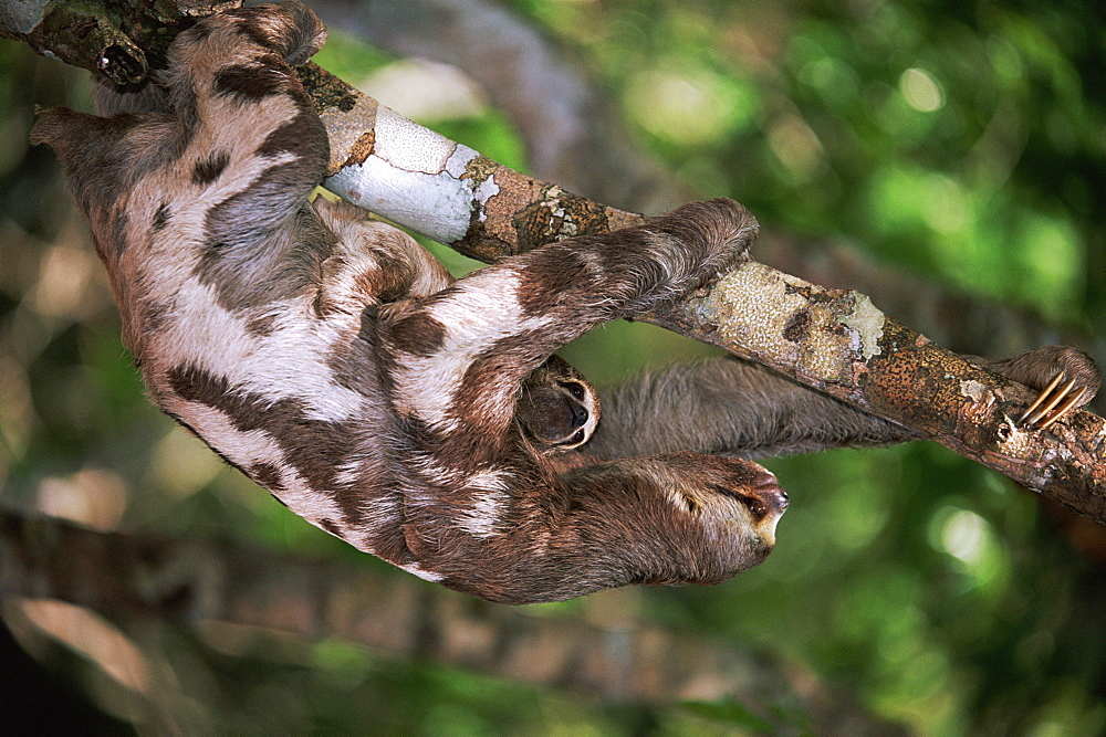 Brown throated three toed sloth with baby in tree, Amazon, Brazil - 727-662