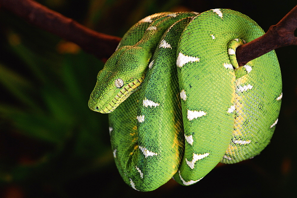 Emerald tree boa coiled round branch {Corallus canina} Amazon rainforest, Ecuador