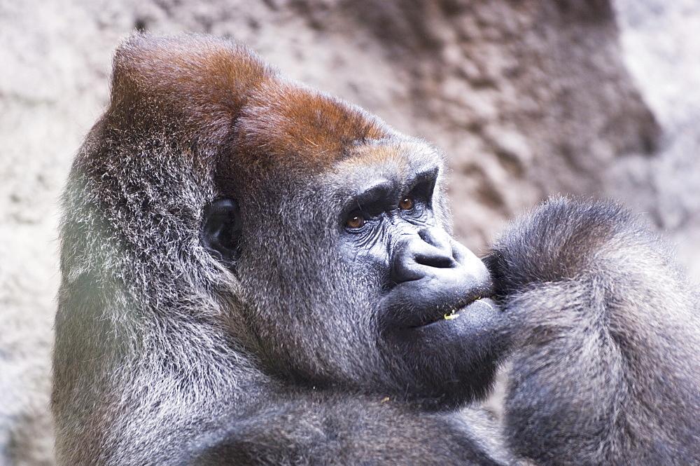 Gorilla in Lorro Park, Tenerife, Canary Islands, Spain, Atlantic, Europe - 728-3394