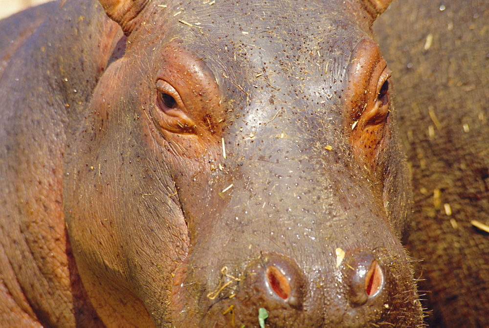 Young Hippo, Kenya *** Local Caption ***